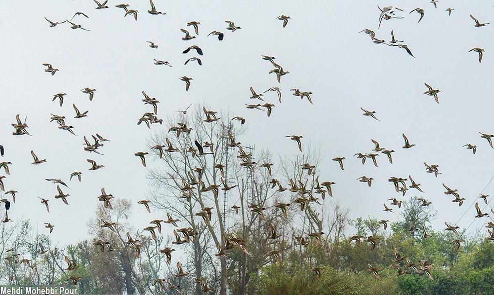 تصاویر / کشتار پرندگان در فریدونکنار