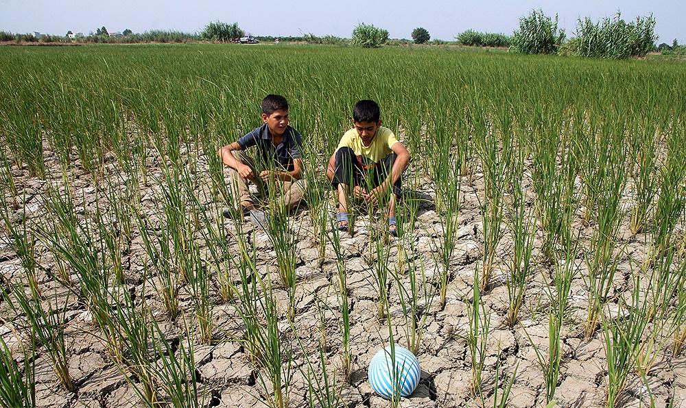 تاکید آب منطقه ای و جهاد کشاورزی مازندران بر ممنوعیت کشت دوم در مازندران