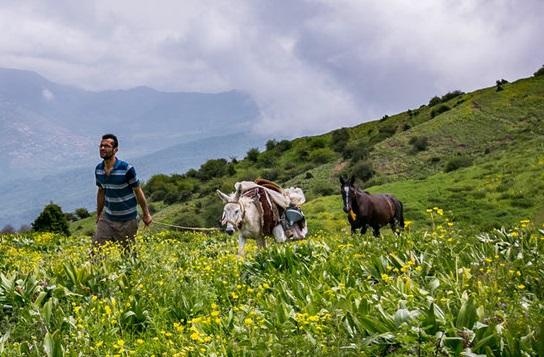 تصاویر / کوچ سنتی دامها به منطقه ییلاقی چلاو آمل