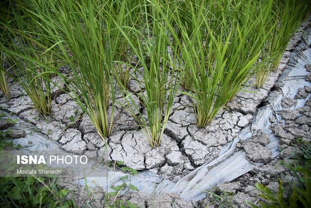 راهکاری استراتژیک برای سازگاری برنجکاران مازندرانی با خشکسالی