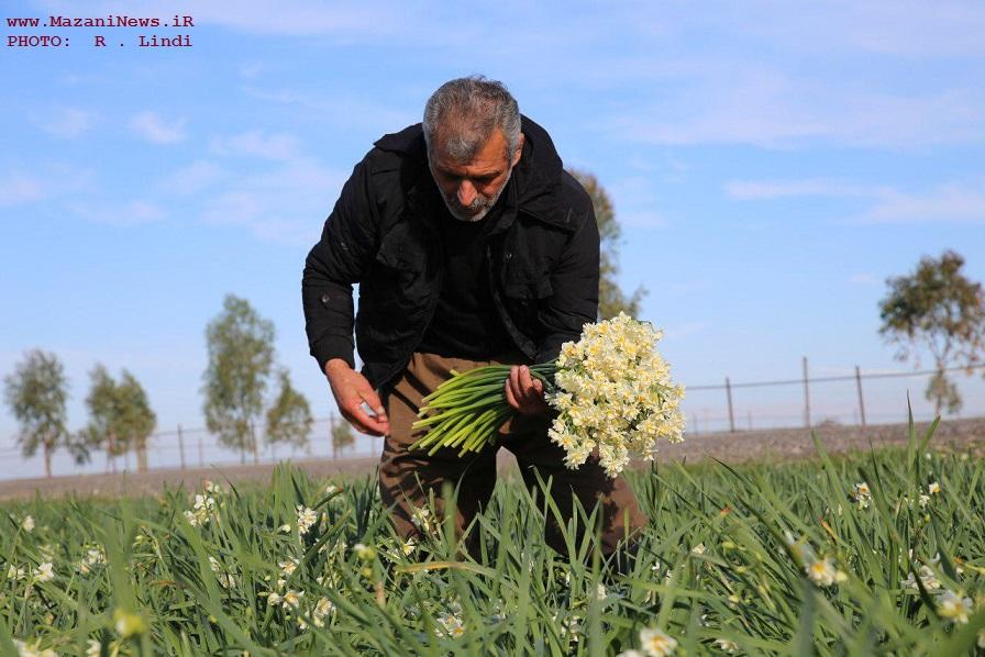 تصایور / برداشت گل نرگس در مازندران